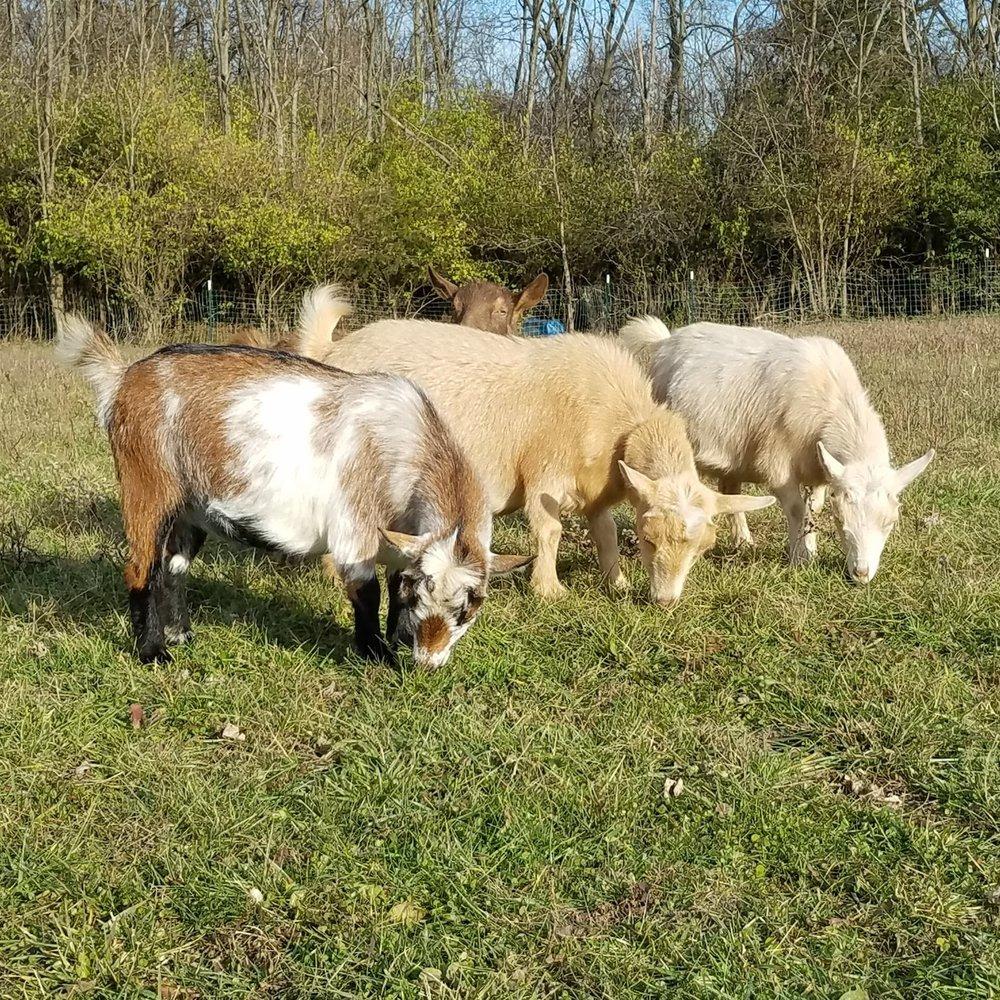3 goats grazing.jpg