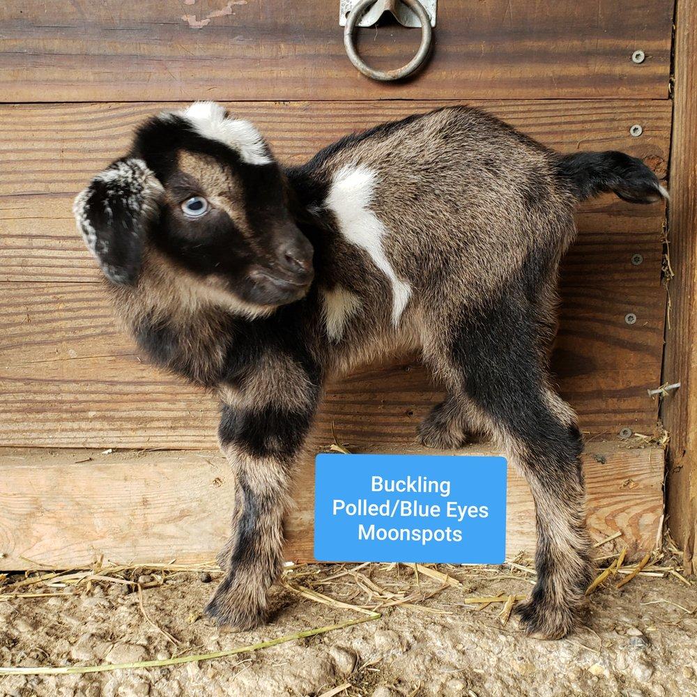 Gerdie X Blue = K39  Buck, Available (Triplet)