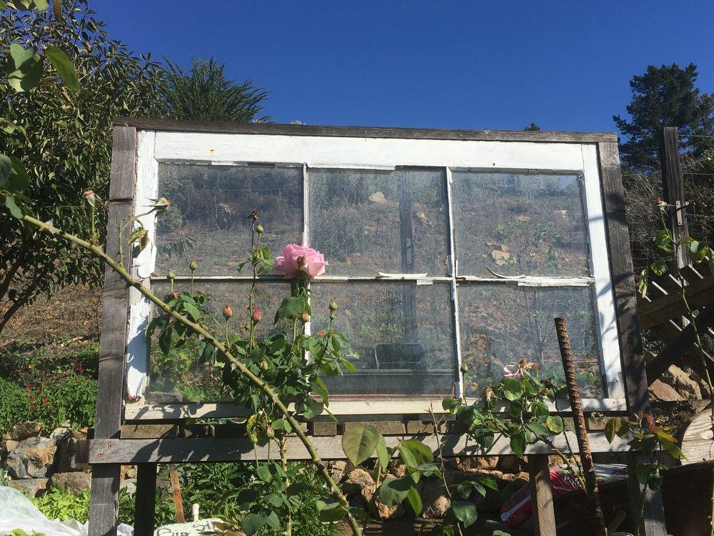 A single rose climbing up a garden fixture, Treebones, Big Sur