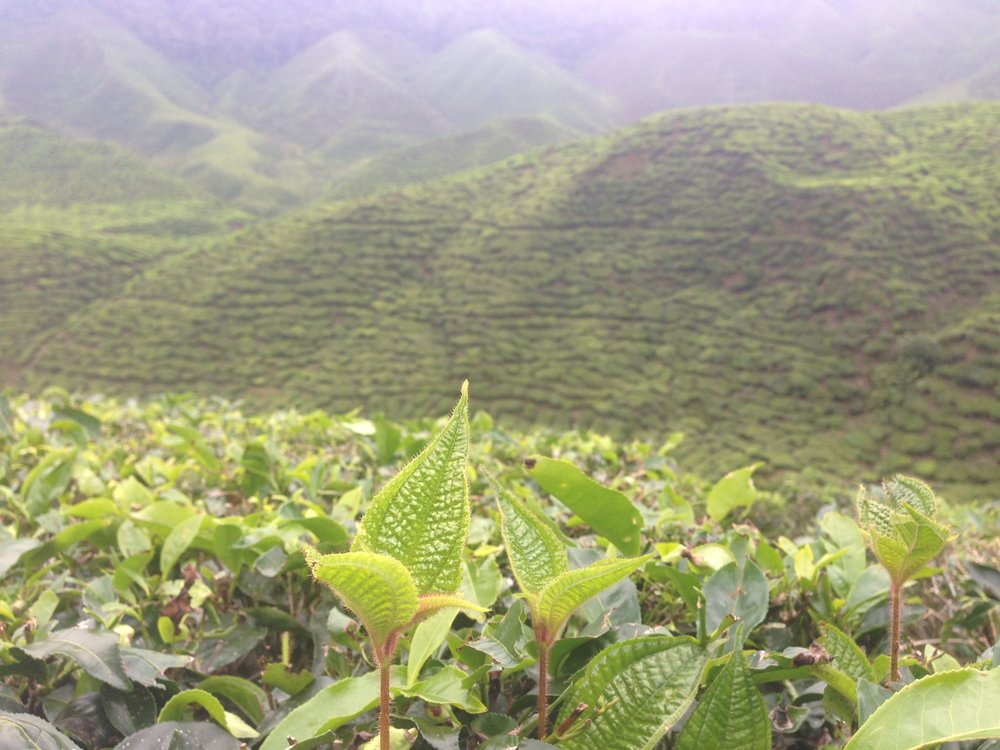 View from the tea leaves