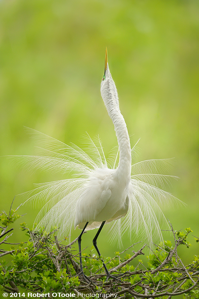 Great Egret Display St Augustine Zoological Park Robert OToole Photography