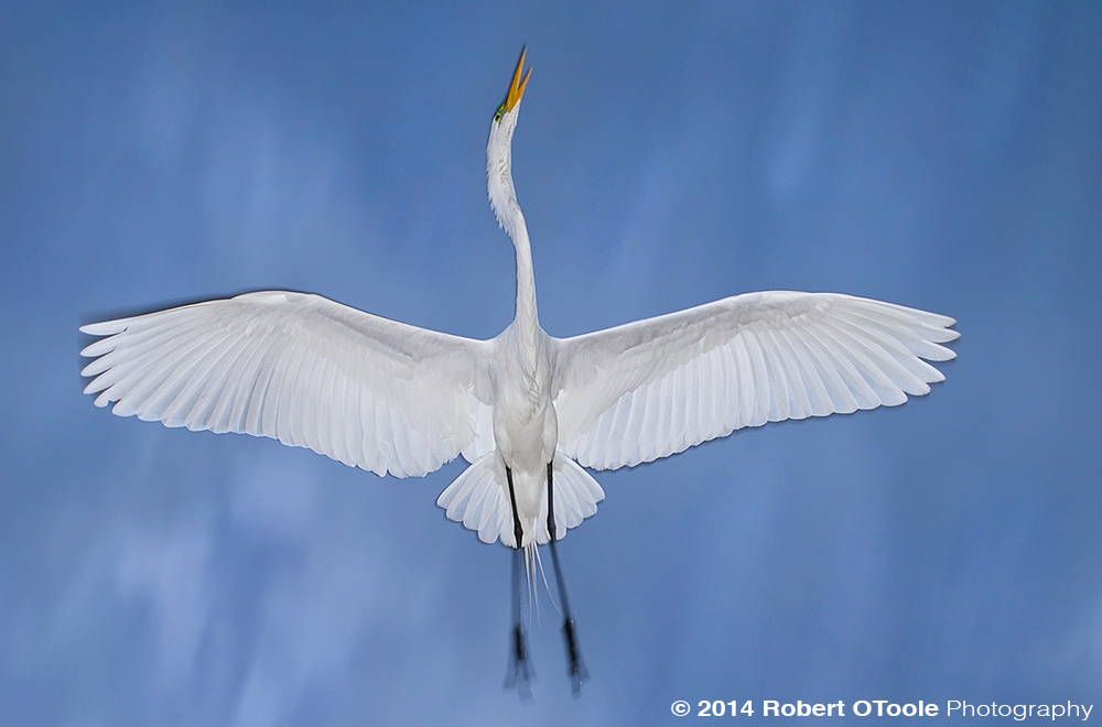 Great-Egret-Storm-clouds St Augustine Alligator Farm Zoological Park Robert OToole Photography