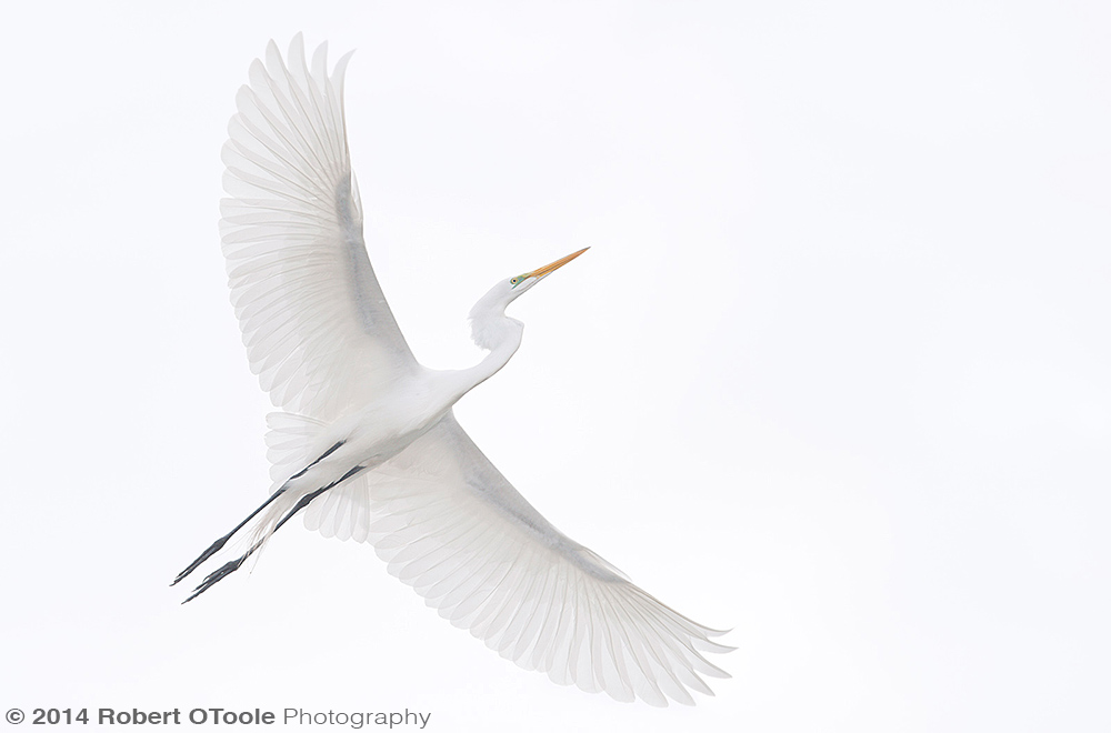 Great-egret-white-St Augustine Alligator Farm Zoological Park Robert OToole Photography