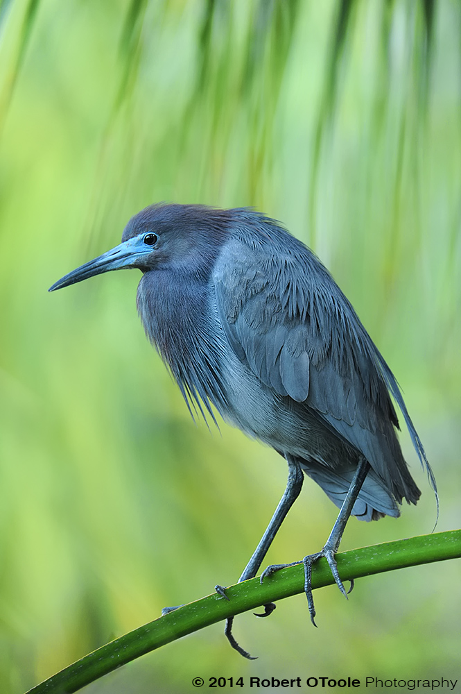 Little-Blue-heron-St Augustine Alligator Farm Zoological Park Robert OToole Photography