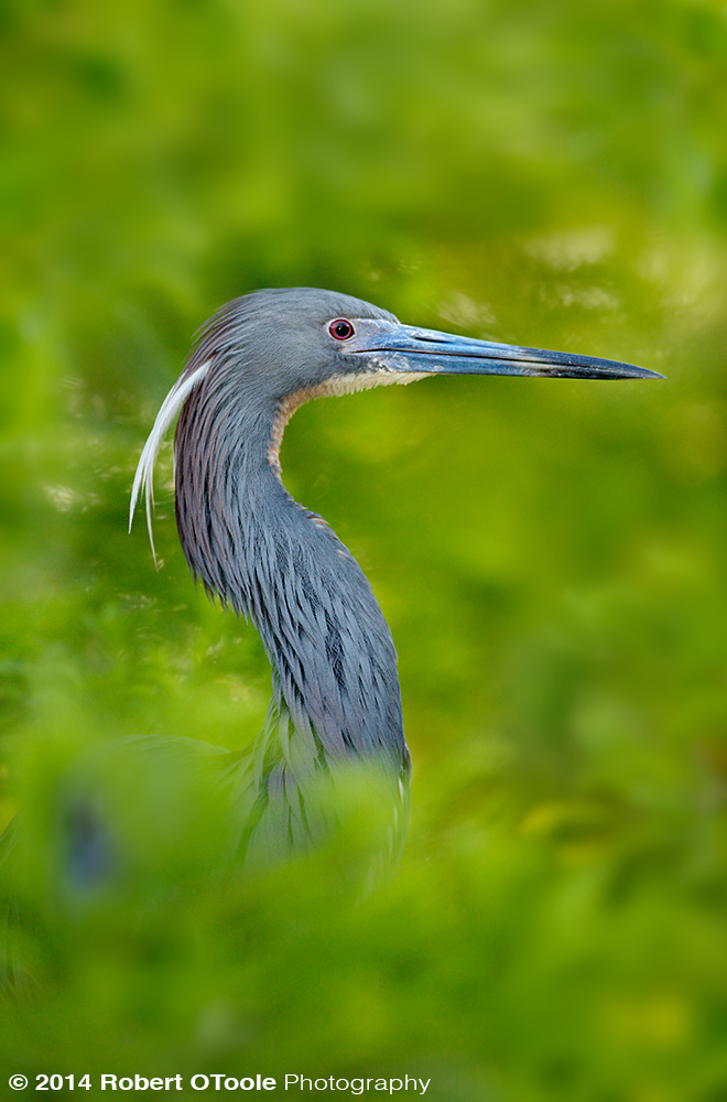 Tri-colored-heron-St Augustine Alligator Farm Zoological Park Robert OToole Photography