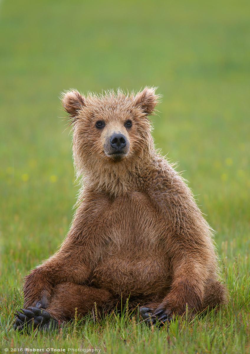 Bear-cub-sitting-up-Katmai-Alaska-Robert-OToole-Photography-2016.JPG