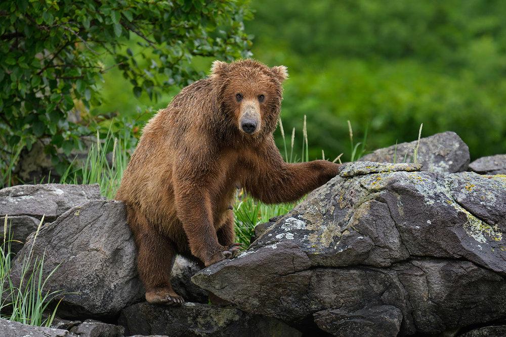 Bear-mother-scratching-on-the-rocks-Katmai-Alaska-Robert-OToole-Photography-2016.JPG