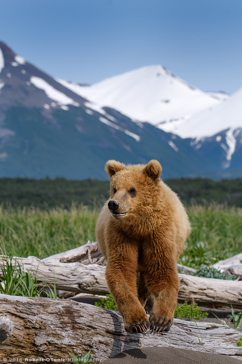 Brown Bear Cub Jump in Alaska