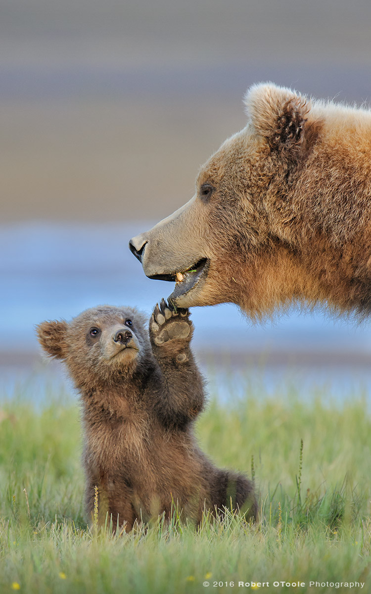 Bear-cub-touching-mother-alaska-Robert-OToole-Photography