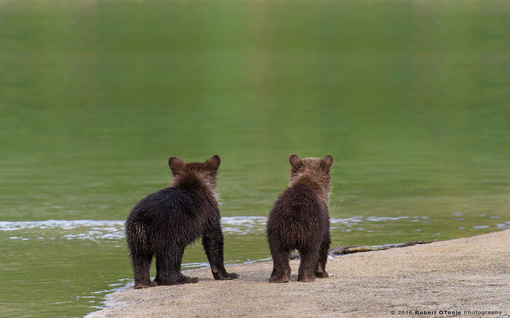 Bear-cubs-waiting-for-mom-Katmai-NP-August-2015-Robert-OToole-Photography