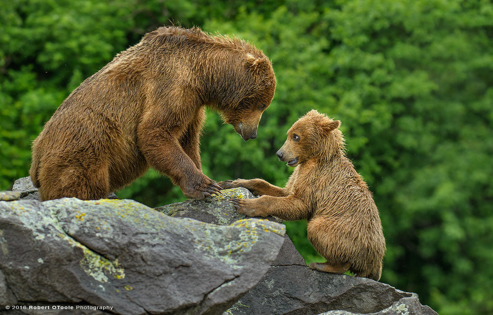 Bear-mother-cub-playing-on-the-rocks-eye-to-eye-Katmai-Alaska-Robert-OToole-Photography-2016