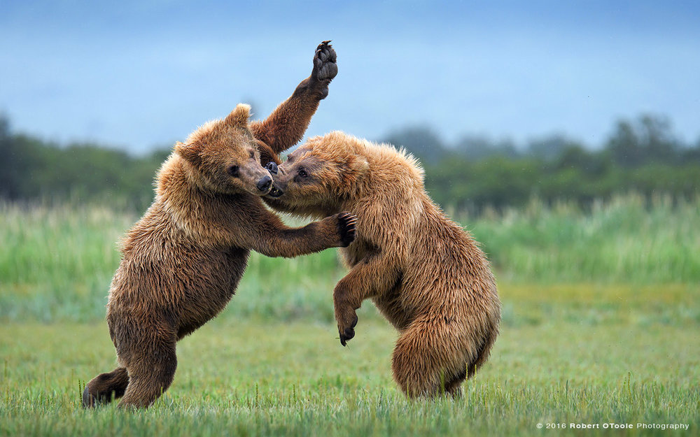Brown Bears Battling in Alaska