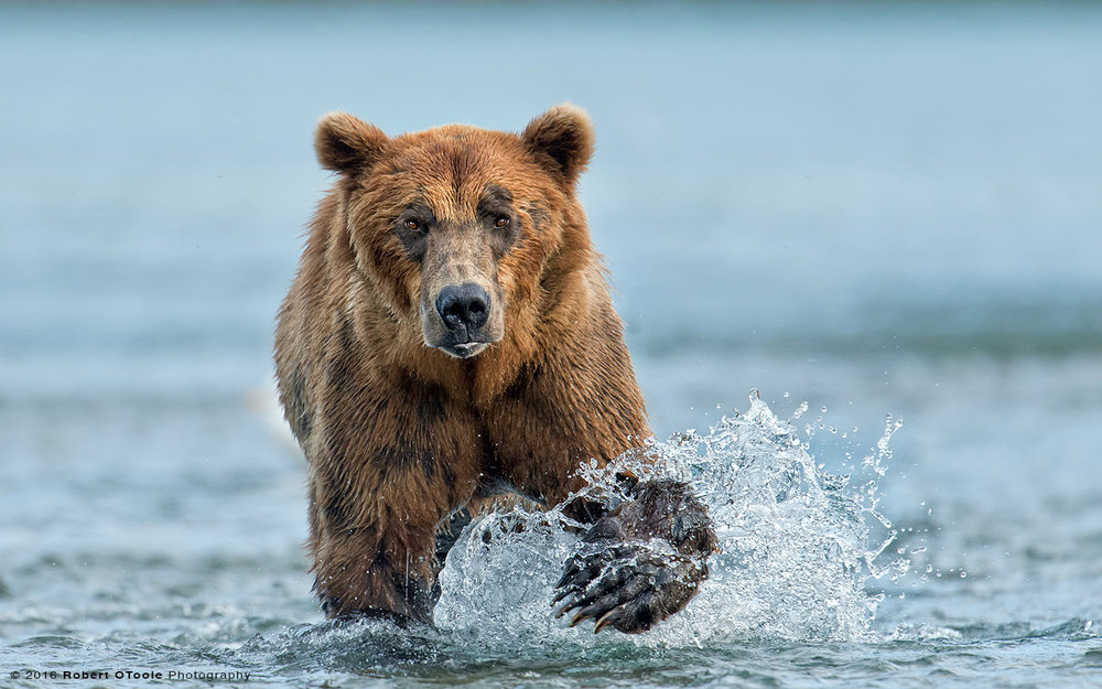 Brown Bear Approaching Head on