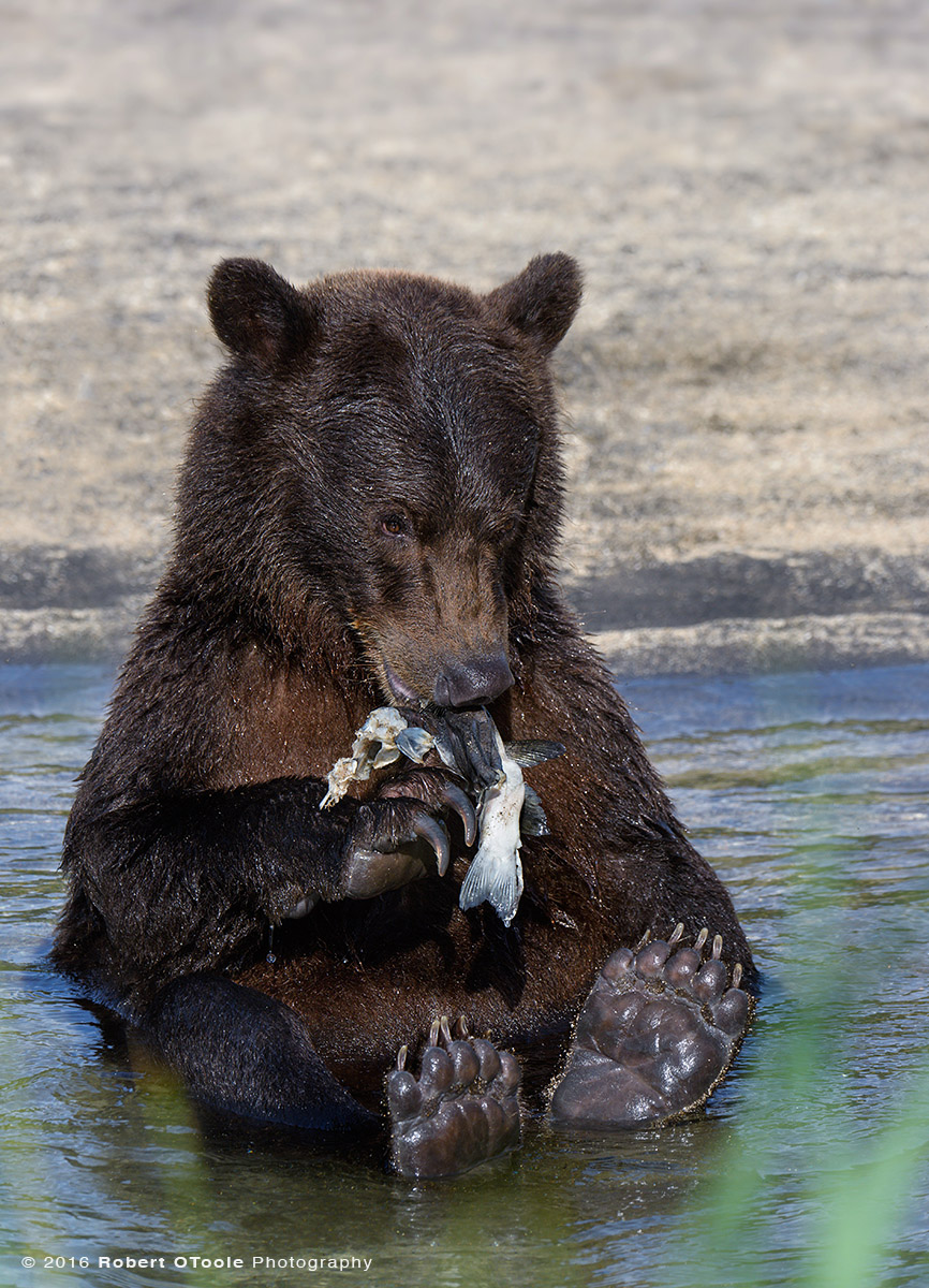 Brown Bear Cub Sitting with  Silver Salmon