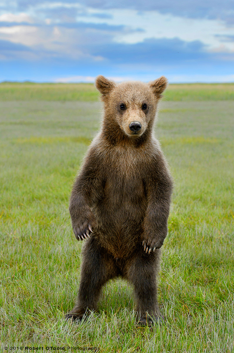 Brown Bear Cub Standing on its Back Feet