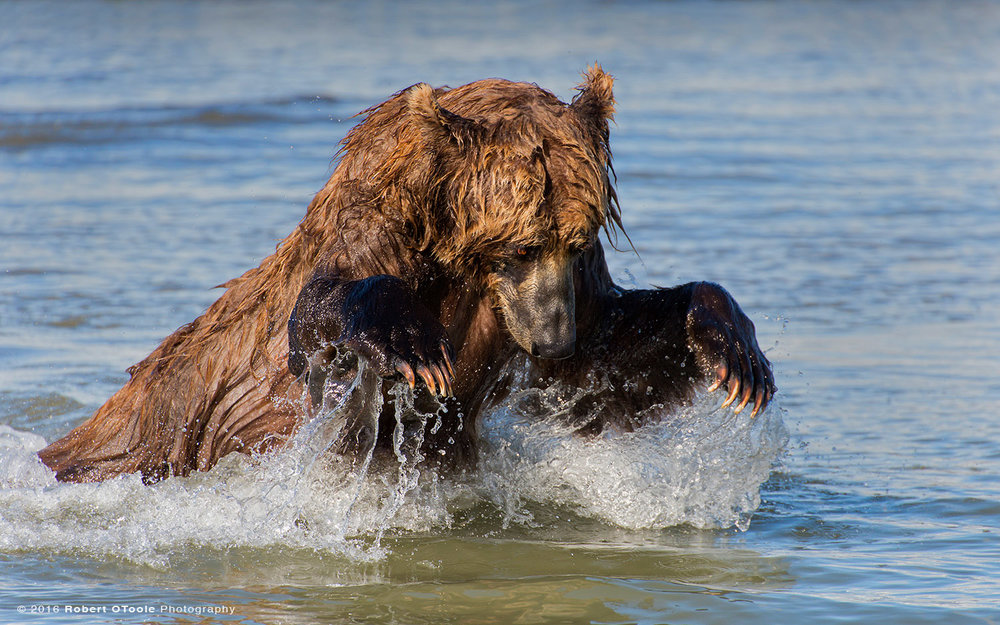 Brown Bear Lunging for Salmon