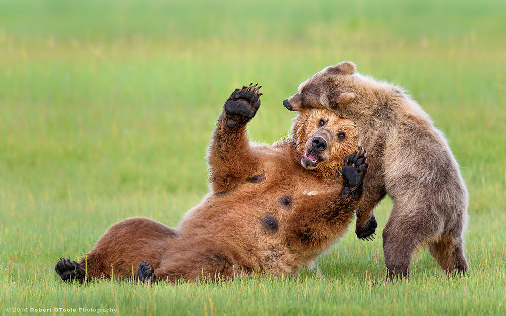 Brown Bear Mother and Cub Enjoying Playtime