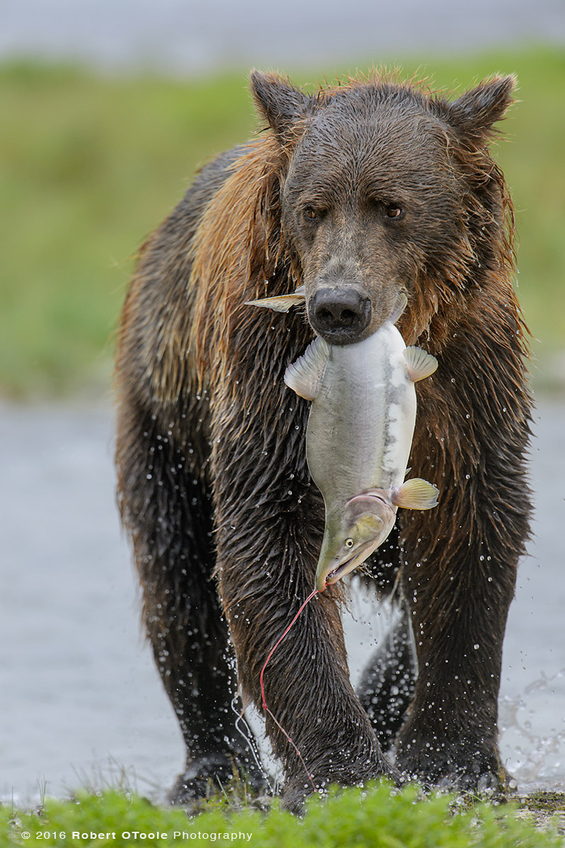 Brown Bear with Humpy Salmon