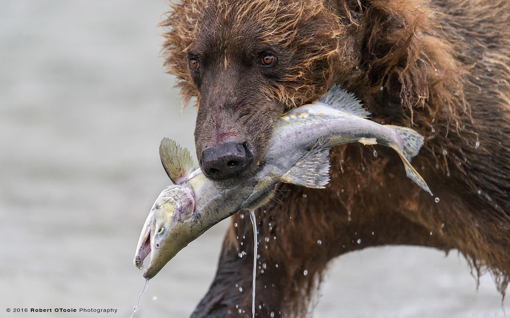 Brown-bear-with-salmon-close-up-Robert-OToole-Photography