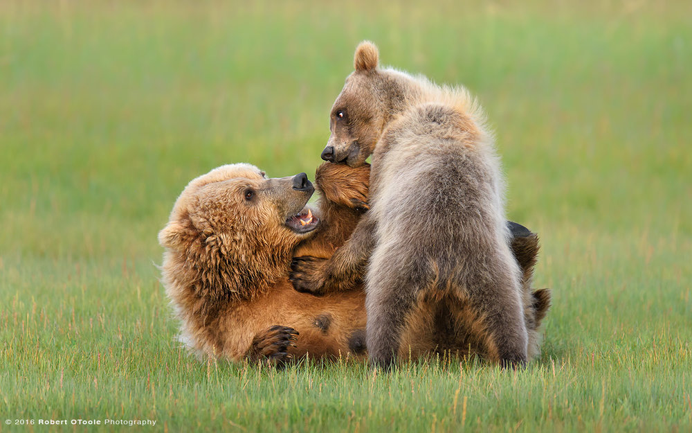 Brown Bear Mother and Cub Stand up Eye Contact