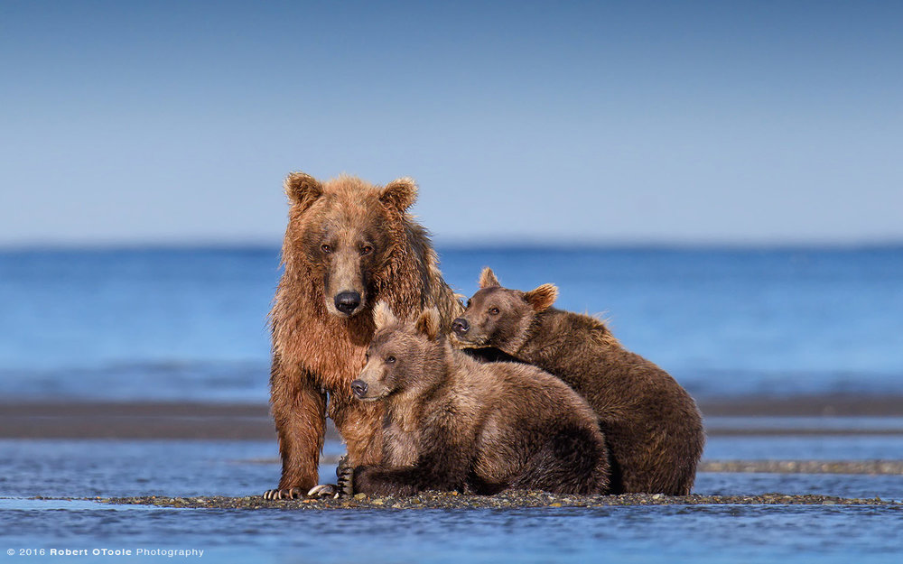 Mother and Cubs on the Beach