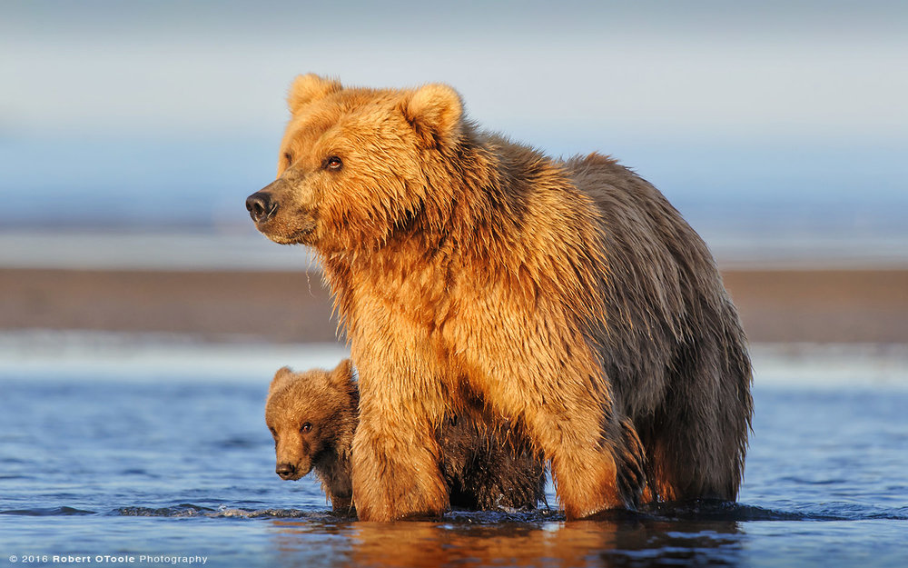 Brown Bear Mother and Cub in Super Morning Light