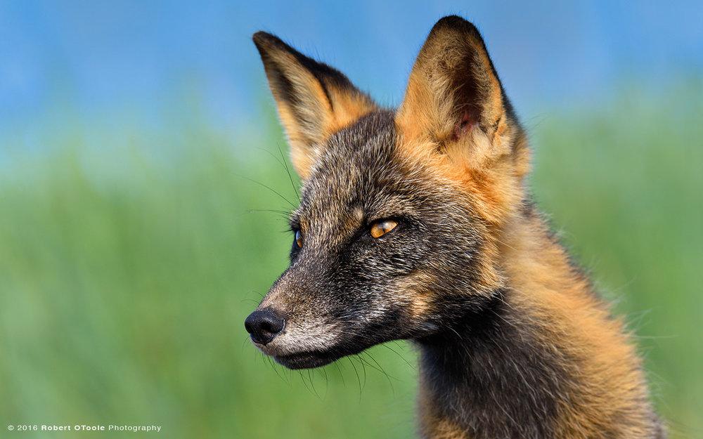 Mr-Fox-blue-green-background-Hallo-Bay-Katmai-NP-August-2015-Robert-OToole-Photography