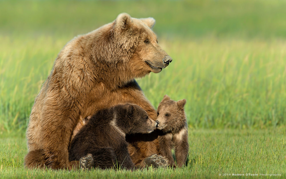 Mother-with-kissing-cubs-Hallo-Bay-2013-Robert-OToole-Photography