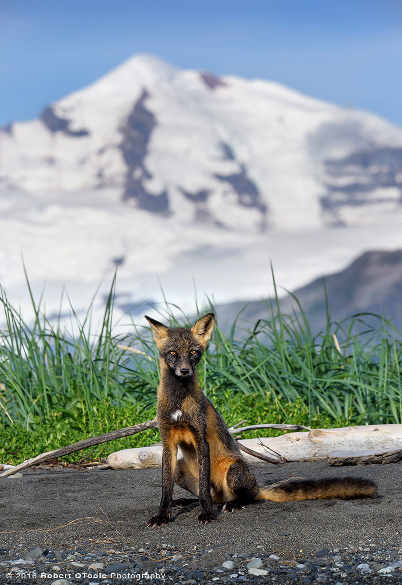 Cross Fox Against Mountains in Alaska