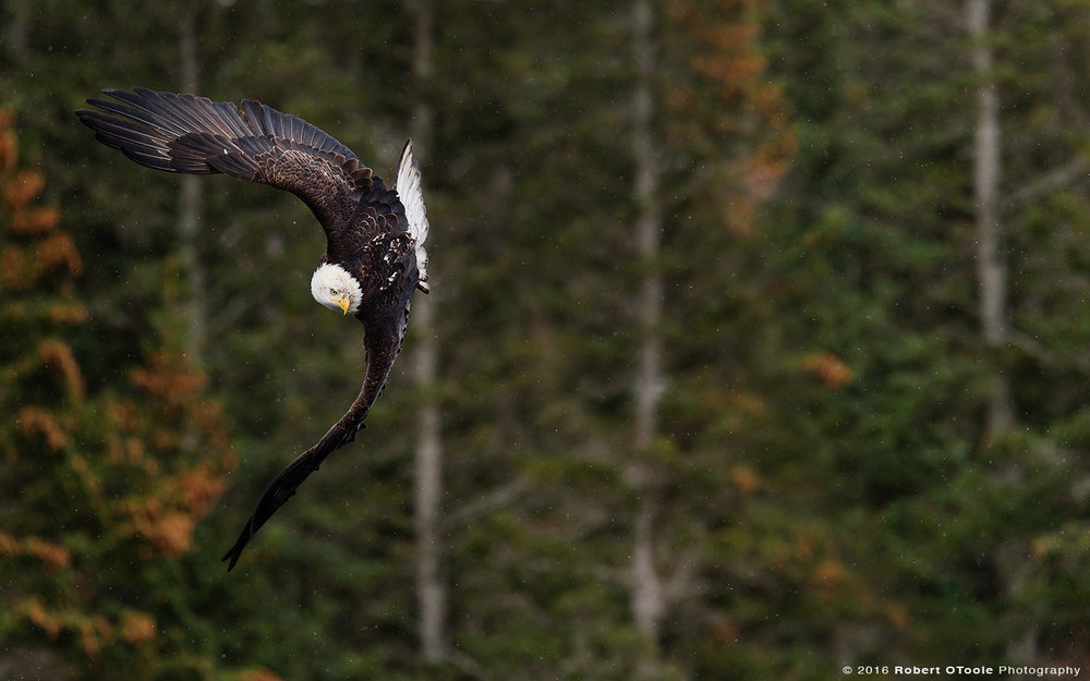 Bald Eagle Banking in Light Snow in Alaska