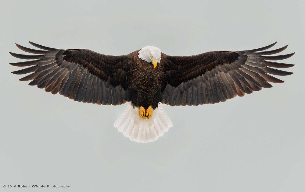 Bald Eagle Stalling