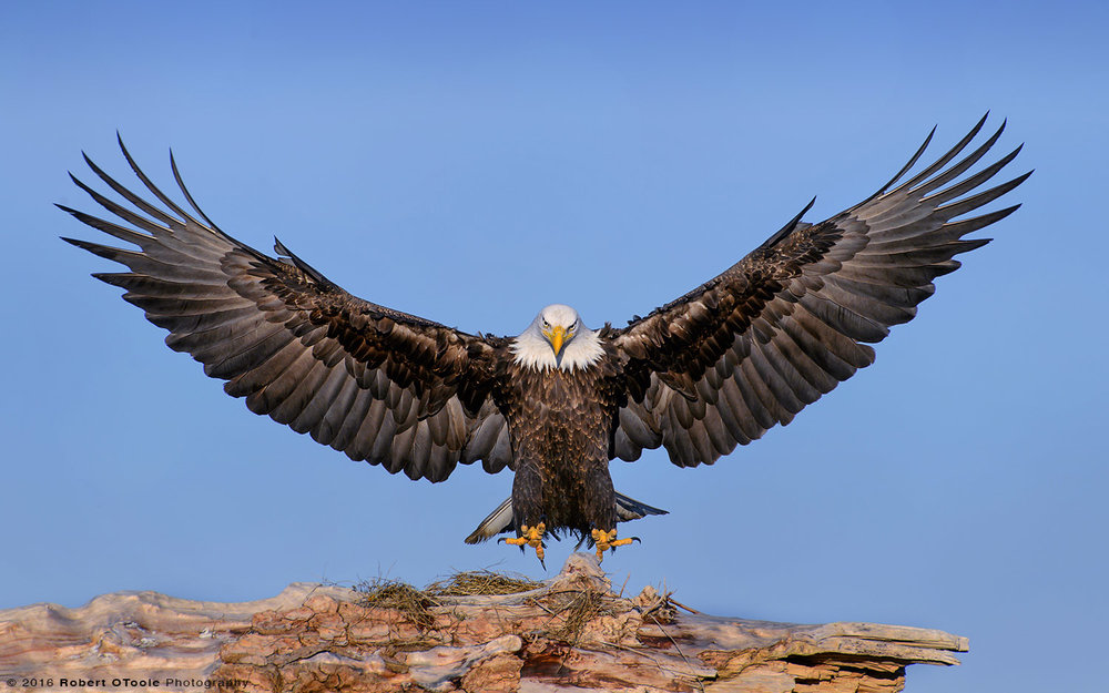 Eagle Landing on Driftwood in Alaska