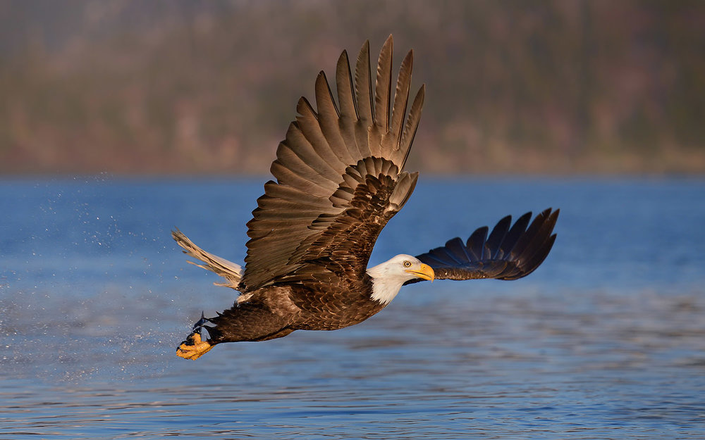 Bald Eagle Wings Forward over Water in Alaska
