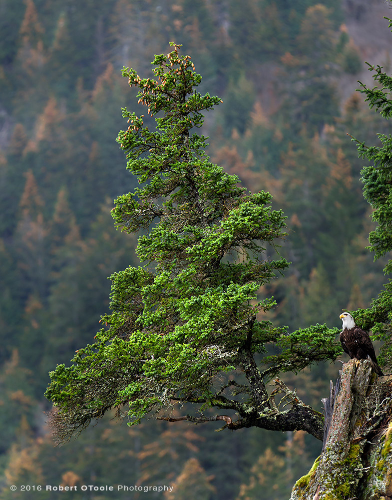 Bald Eagle and Spruce Tree in Alaska