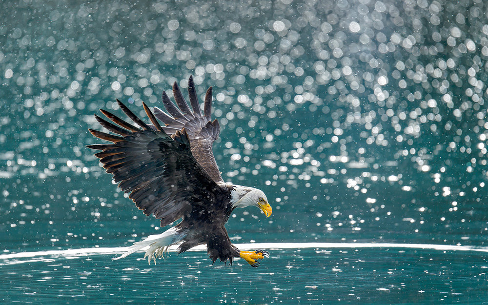 Bald-eagle-back-lit-snow-flurry-Robert-OToole-Photography