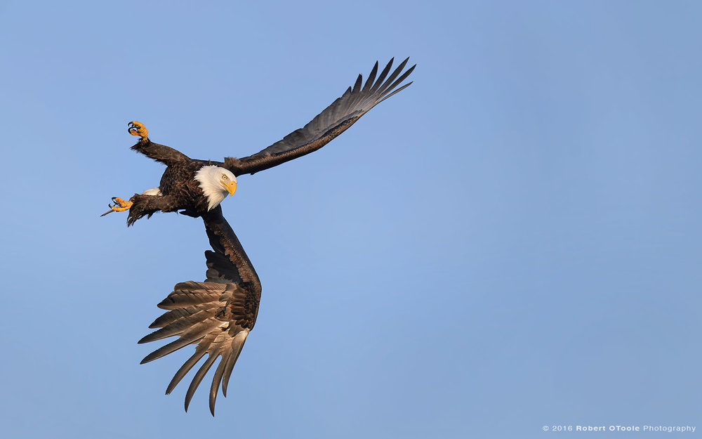 Bald-Eagle-left-bank-Robert-OToole-Photo