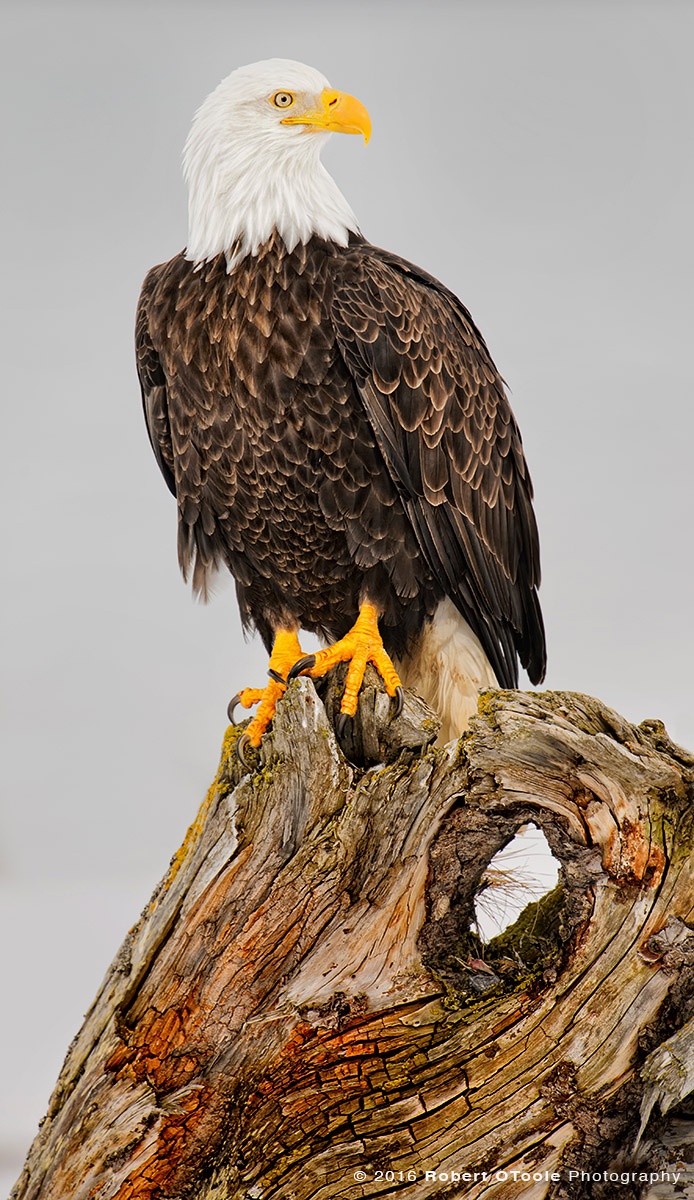 Bald-Eagle-perched-Robert-OToole-Photography