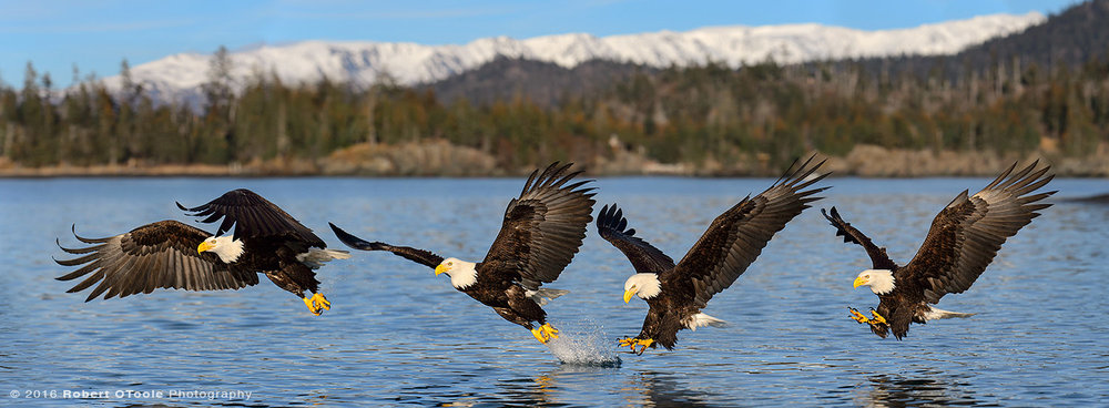 Bald Eagle Water Strike Sequence in Alaska