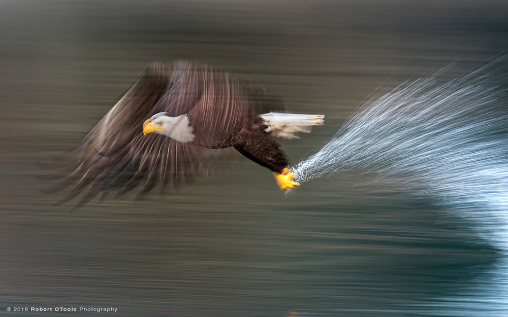 Bald Eagle Striking the Water at 1/20th s
