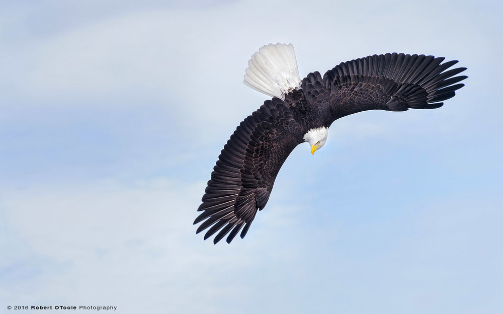 Bald Eagle Banking Head Down in  Blue Sky