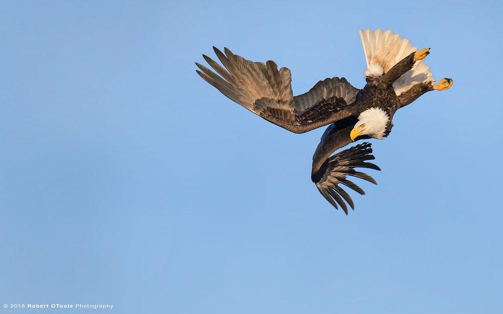 Eagle-hard-bank-Robert-OToole-Photography