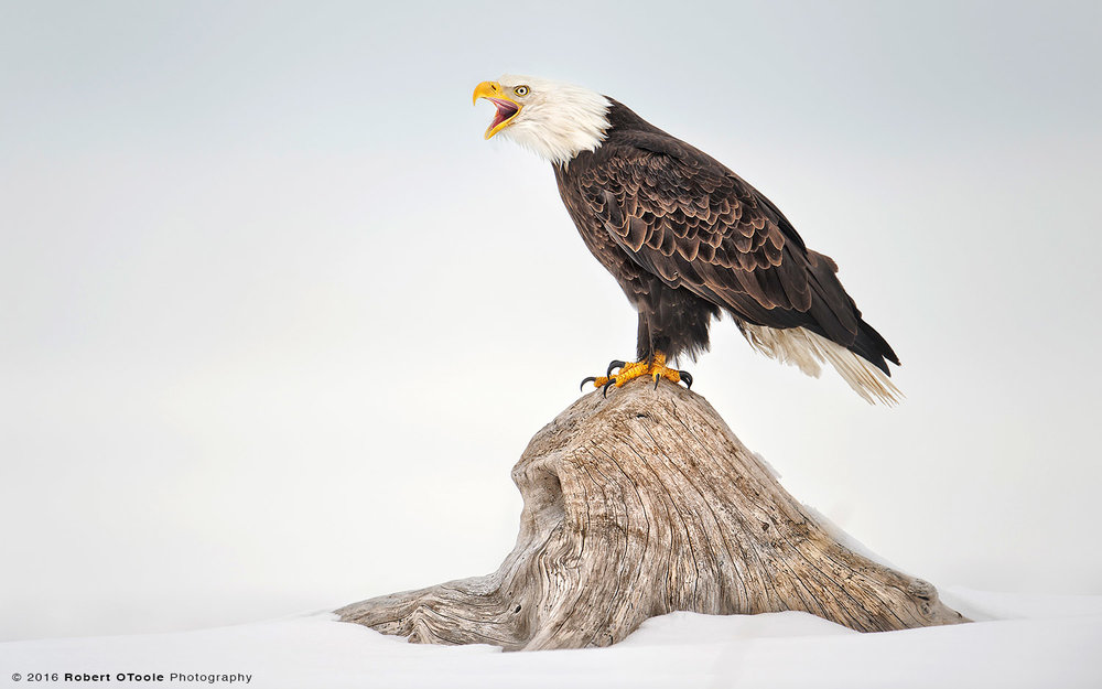 Bald-eagle-perched-calling-with-snow-background-Robert-OToole-Photography
