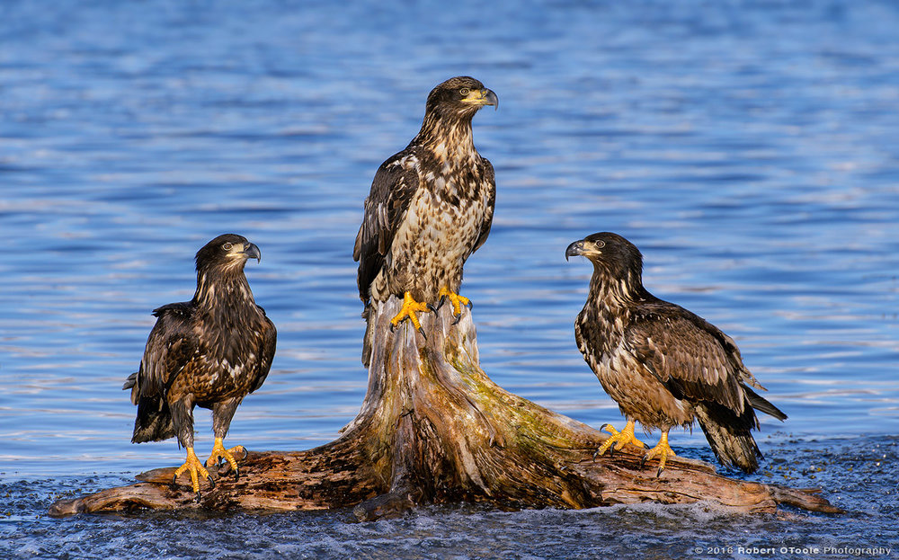 Three Perched Bald Eagles