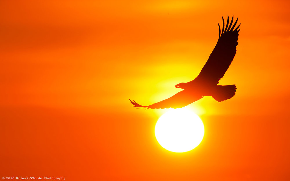 Bald Eagle and Sun Ball at Sunset