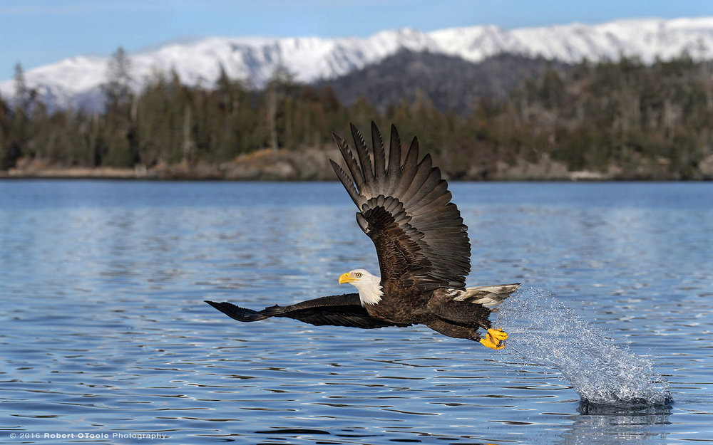 Bald Eagle Alaska Super
