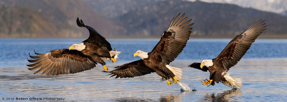 Bald Eagle Three Sequence
