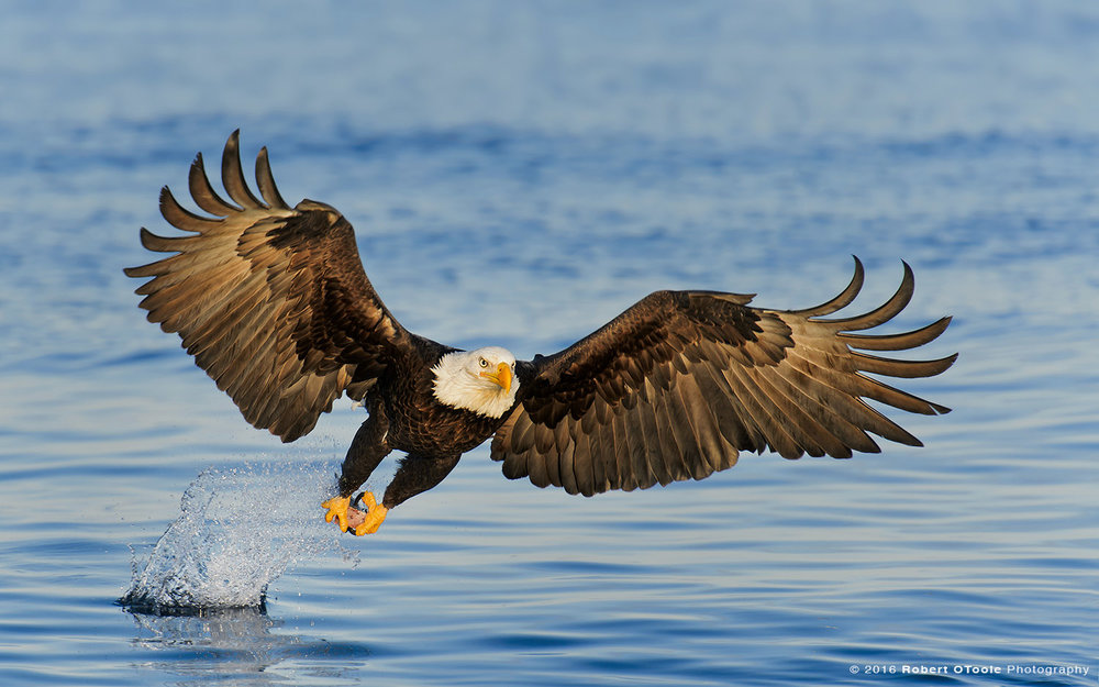 Bald Eagle Striking Blue Water Head on