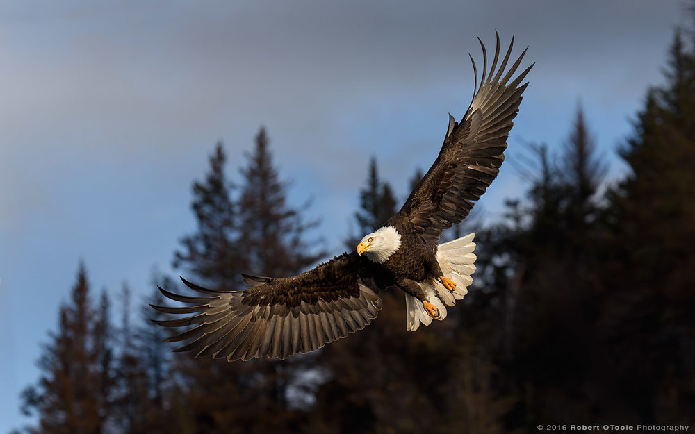Eagle-dark-bank-Alaska-Robert-OToole-Photography