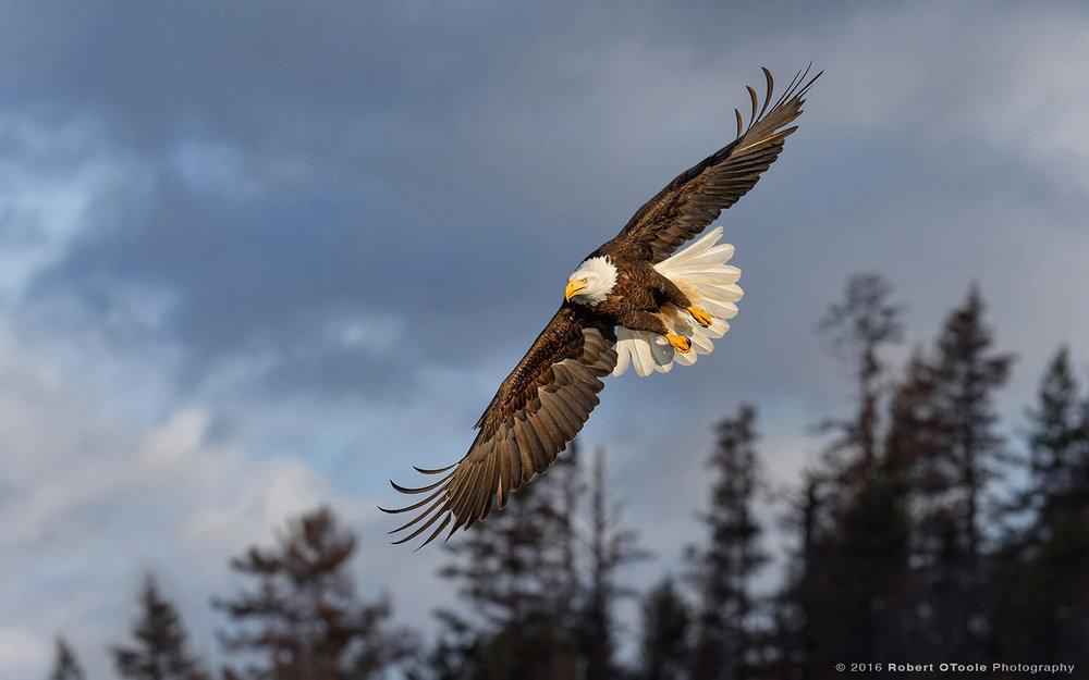 Bald Eagle in Dark Morning Light in Alaska