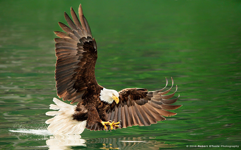 Bald Eagle Touching Green Water